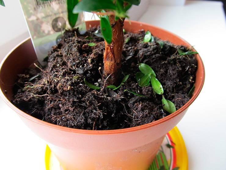 Как избавиться от мошек, поселившихся в цветочных горшках?