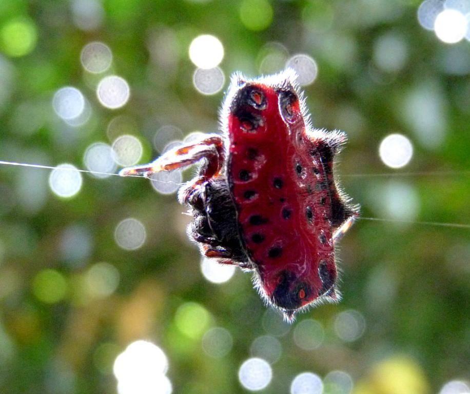 Паук егерь или гагантский крабовый паук, где обитают и насколько опасны