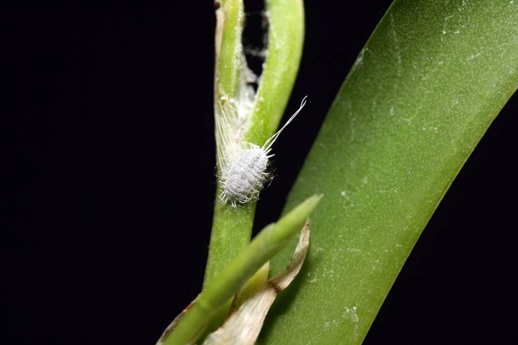 Тля на орхидее: причины появления, как бороться в домашних условиях