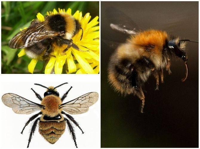 Земляной шмель | мир животных и растений