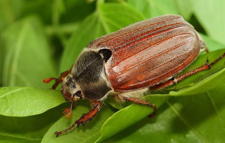Сонник личинка майского жука. к чему снится личинка майского жука видеть во сне - сонник дома солнца