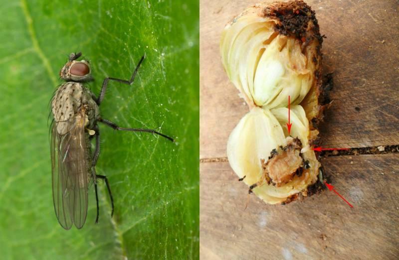 Эффективные способы борьбы с луковой мухой — насекомые вредители