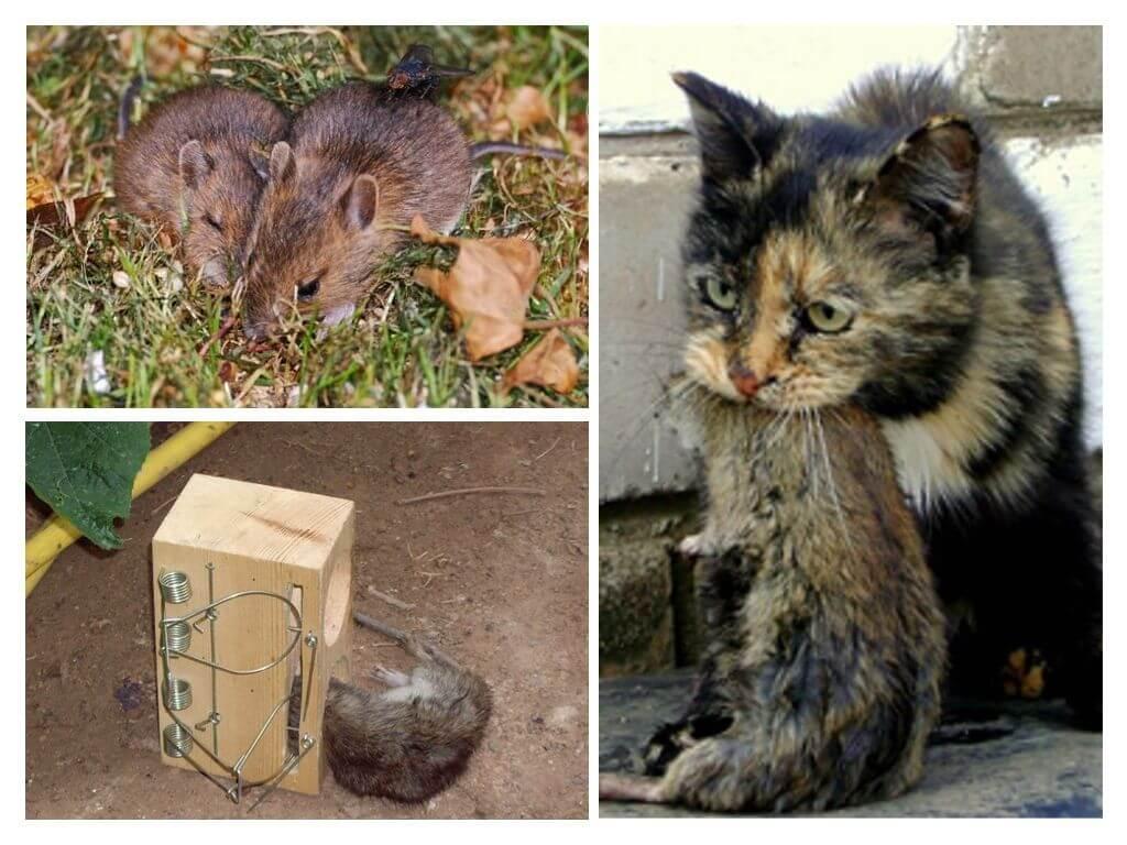 Земляная крыса - как избавиться и какое средство для борьбы эффективнее?