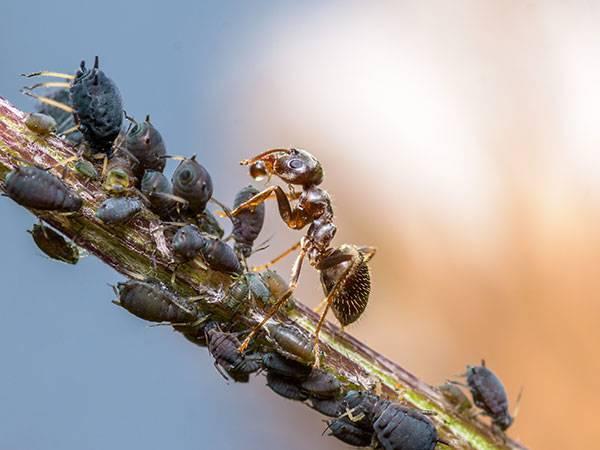 Муравьи и тля - описание взаимовыгодного симбиоза насекомых