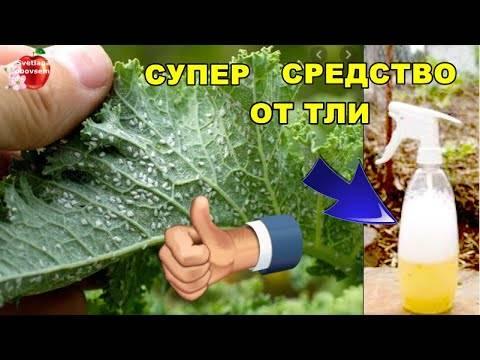 Обработка содой от тли - опрыскивание пищевой и натуральной содой