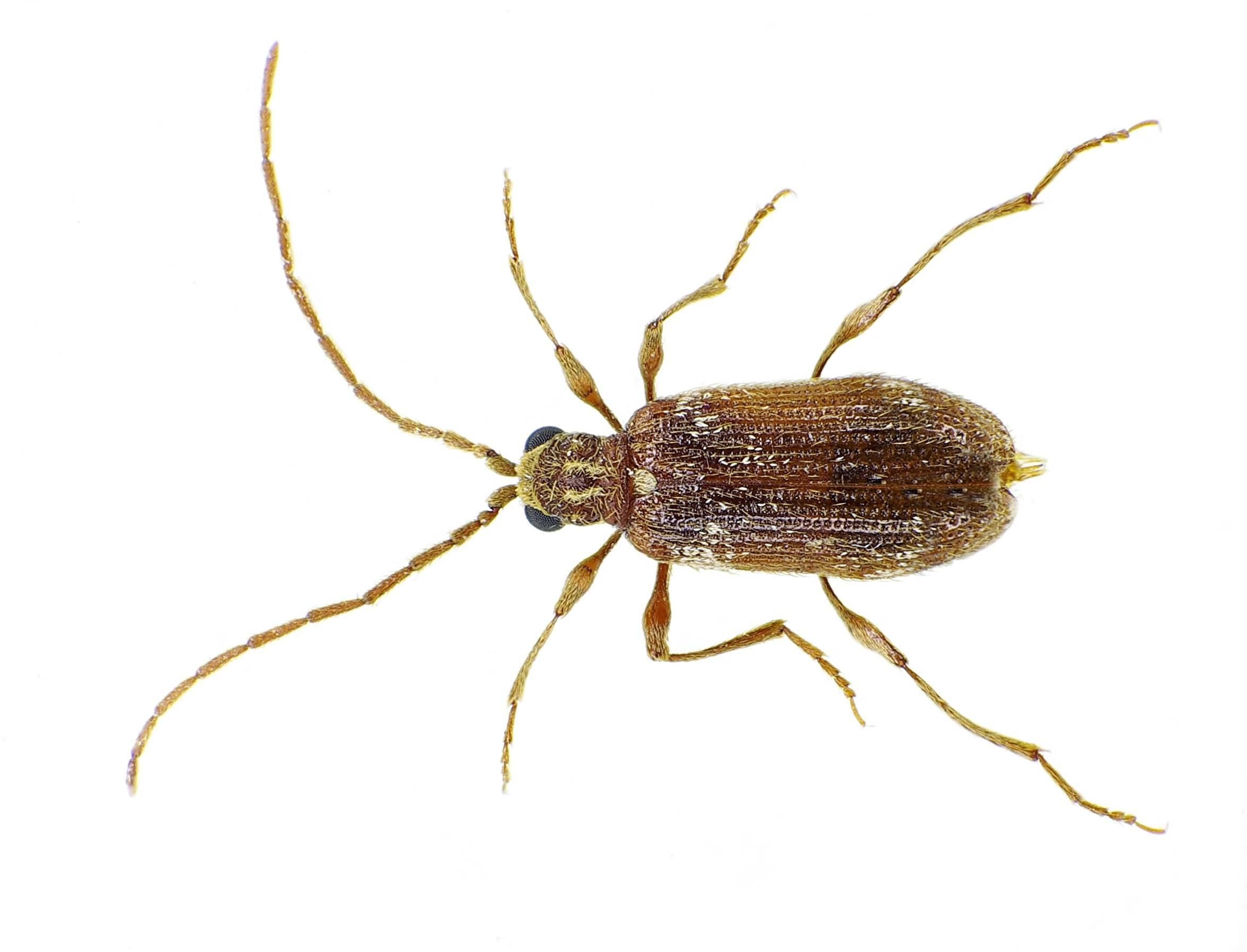 Притворяшка-вор: фото жука, как опознать вредителя и избавиться от него