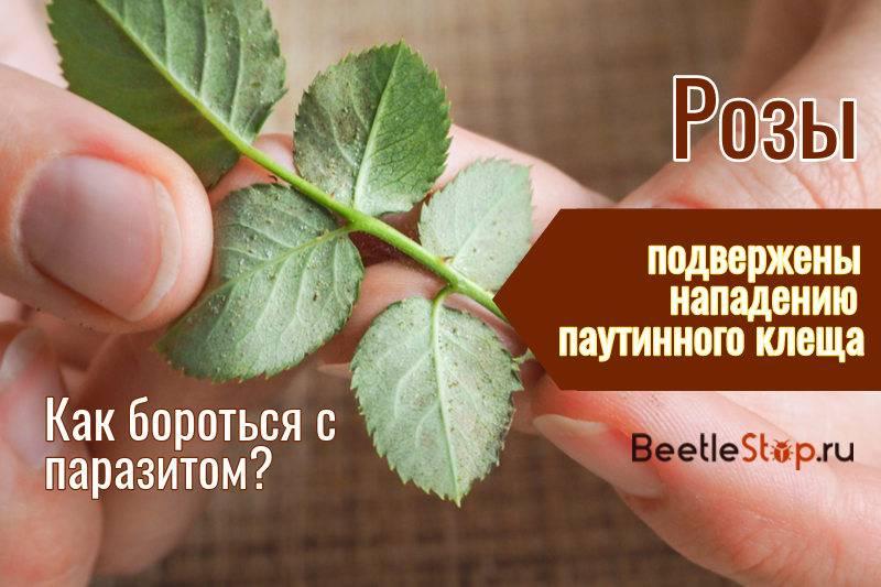 Поражение розы паутинным клещом и розанной тлей: профилактика и методы устранения