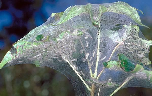Как бороться с паутинным клещем на перце