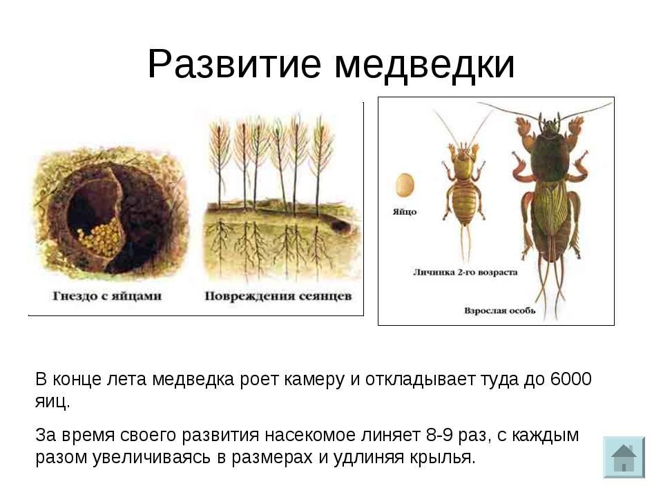 Медведка насекомое. описание, особенности, виды, образ жизни и среда обитания медведки   живность.ру