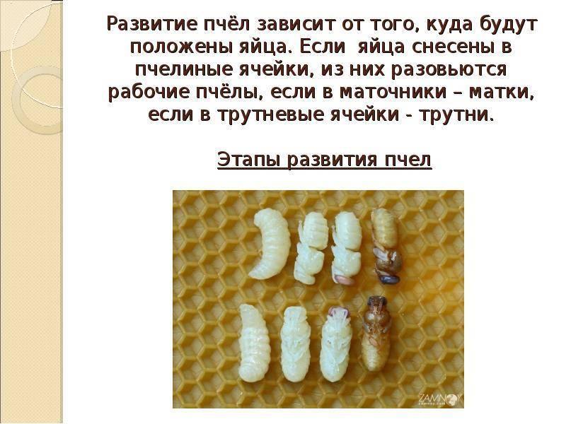 Развитие пчелы, развитие матки пчелы, трутня, стадии развития пчелы