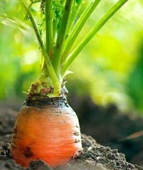 Чем обрабатывать морковь от вредителей | садоводство24