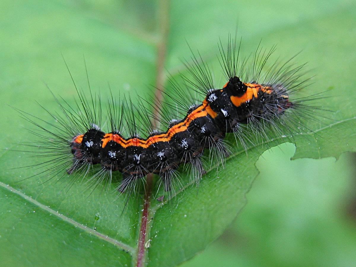 Самые опасные гусеницы россии. виды гусениц с фото и названиями