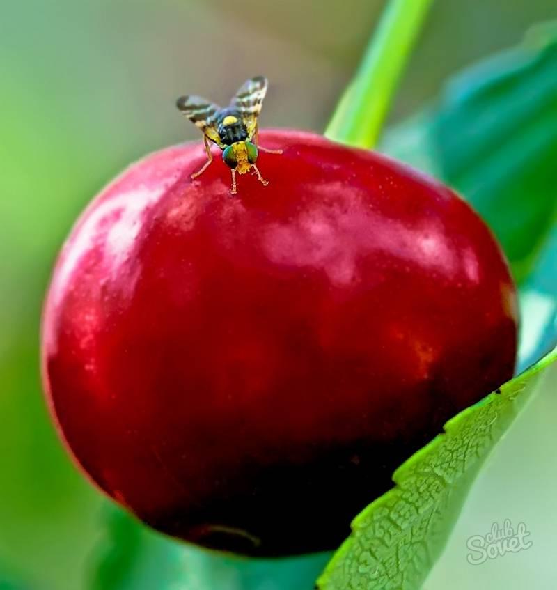 ✅ о вишневой мухе: как избавиться, чем обработать, каким препаратом опрыскать - tehnomir32.ru
