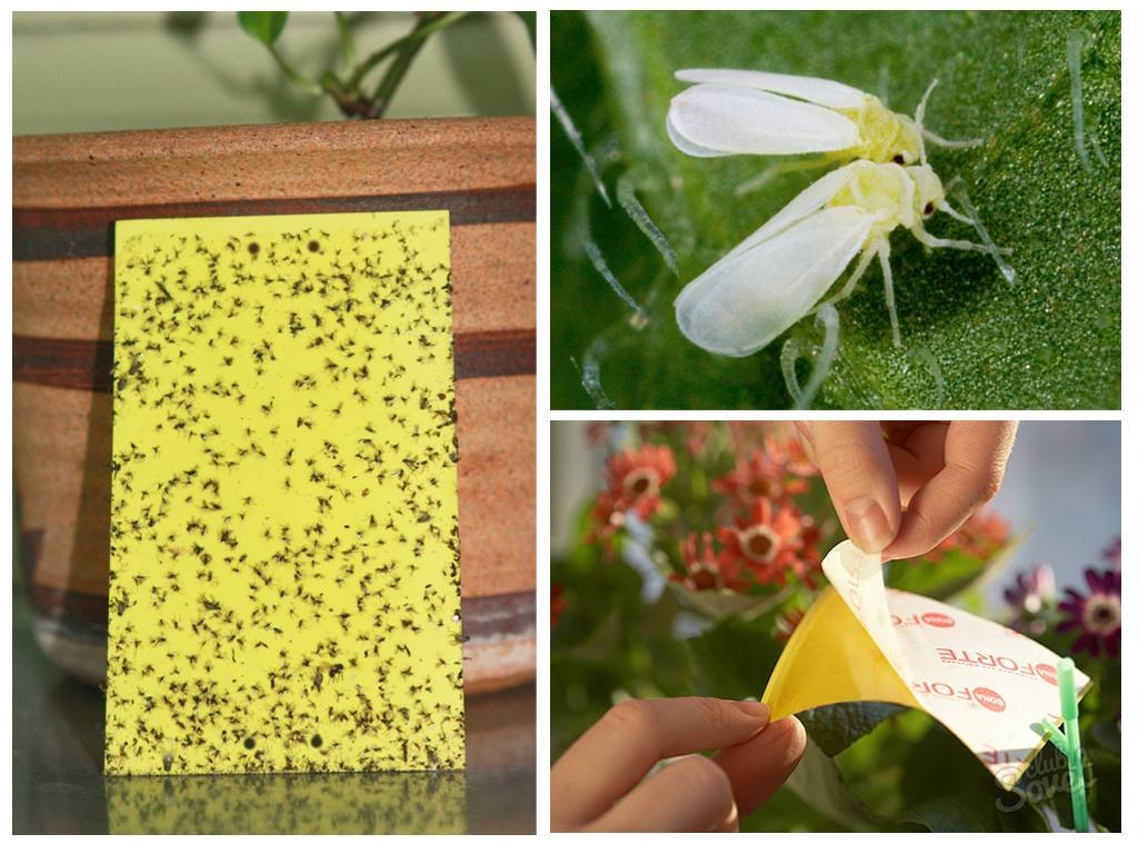 Белокрылка на рассаде помидоров - как бороться с бабочкой в домашних условиях, в теплице и открытом грунте