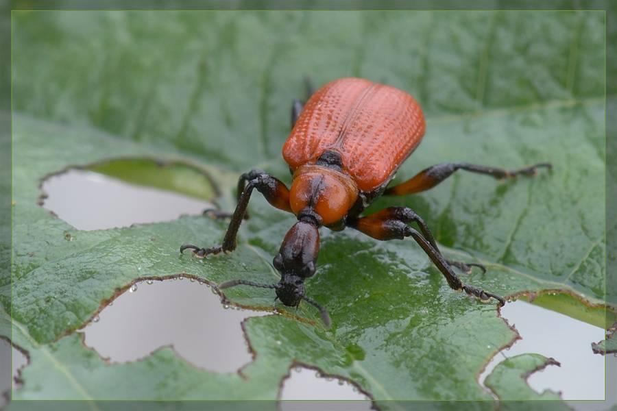 Удивительные муравьи-портные - zefirka
