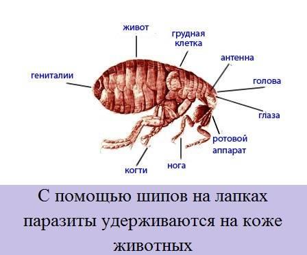 Какие болезни бывают у морских свинок