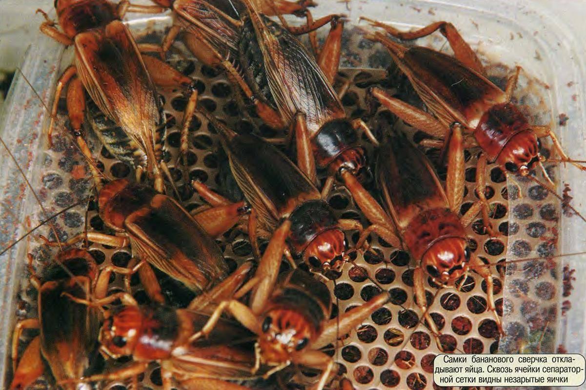 Сверчок в доме: общие сведения о насекомом, методы борьбы с вредителем, разведение в домашних условиях