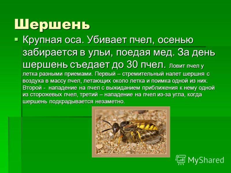 Шершень – описание, виды, фото, укус и последствия