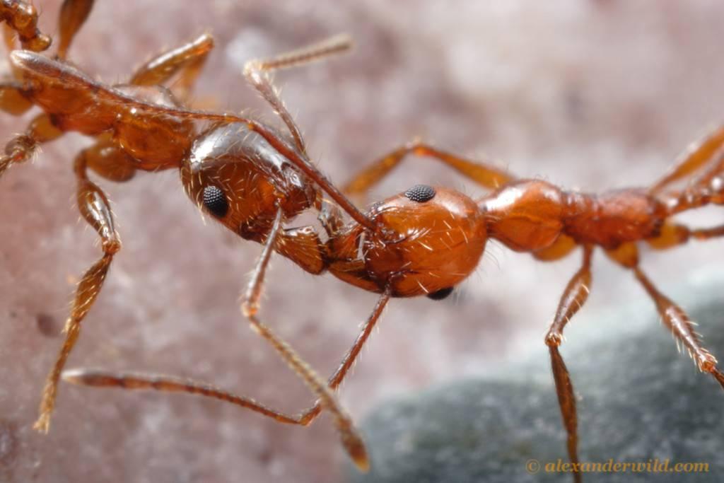 Красный огненный муравей – как выглядит, симптомы и лечение укусов