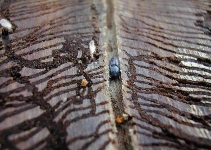 Жук-короед: профилактика и лечение деревьев   сажаем сад