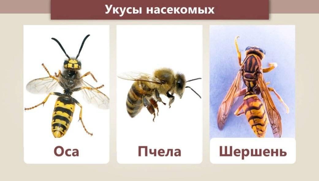 Отличия осы, пчелы, шмеля, шершня: чем отличается шмель и пчела, шершень и оса