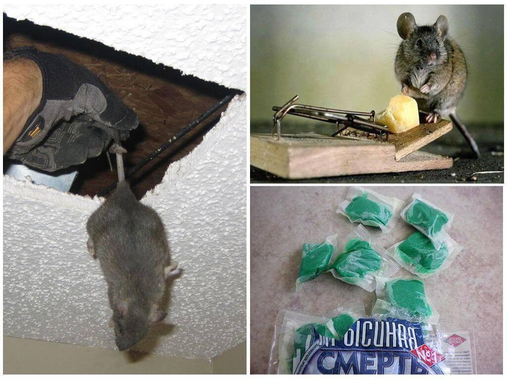 Какого запаха боятся крысы? / как избавится от насекомых в квартире