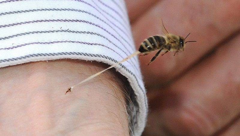 Почему умирает пчела после укуса