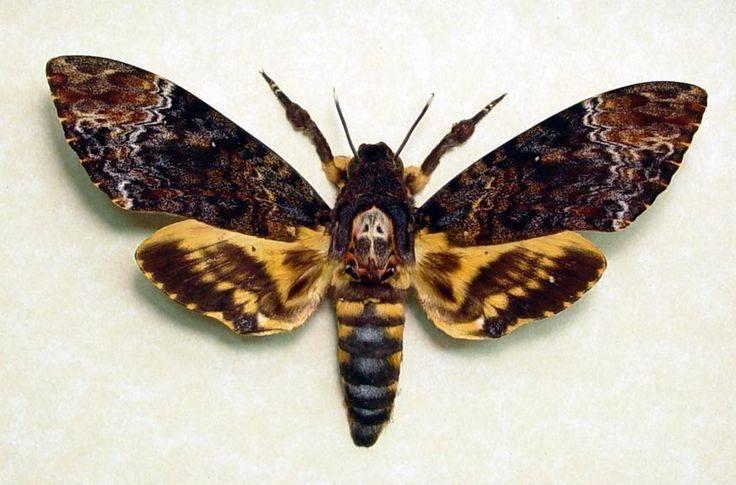 Бабочка «мертвая голова»: мифы, легенды и интересные факты