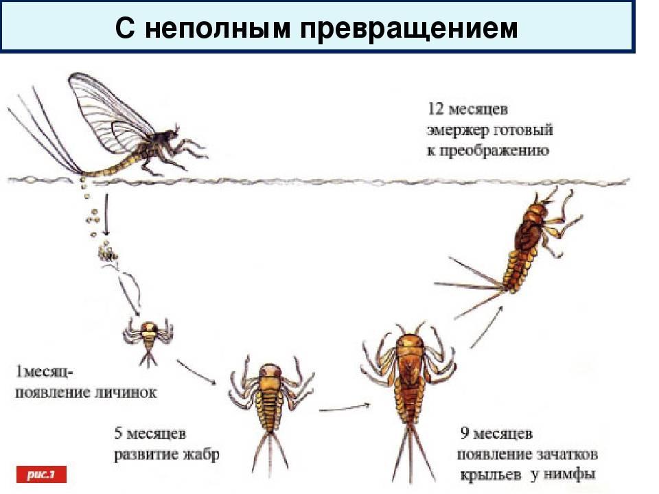 Сколько живёт комар?