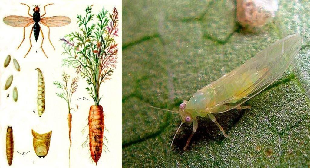 Вредитель корнеплода морковная муха, как с ней бороться