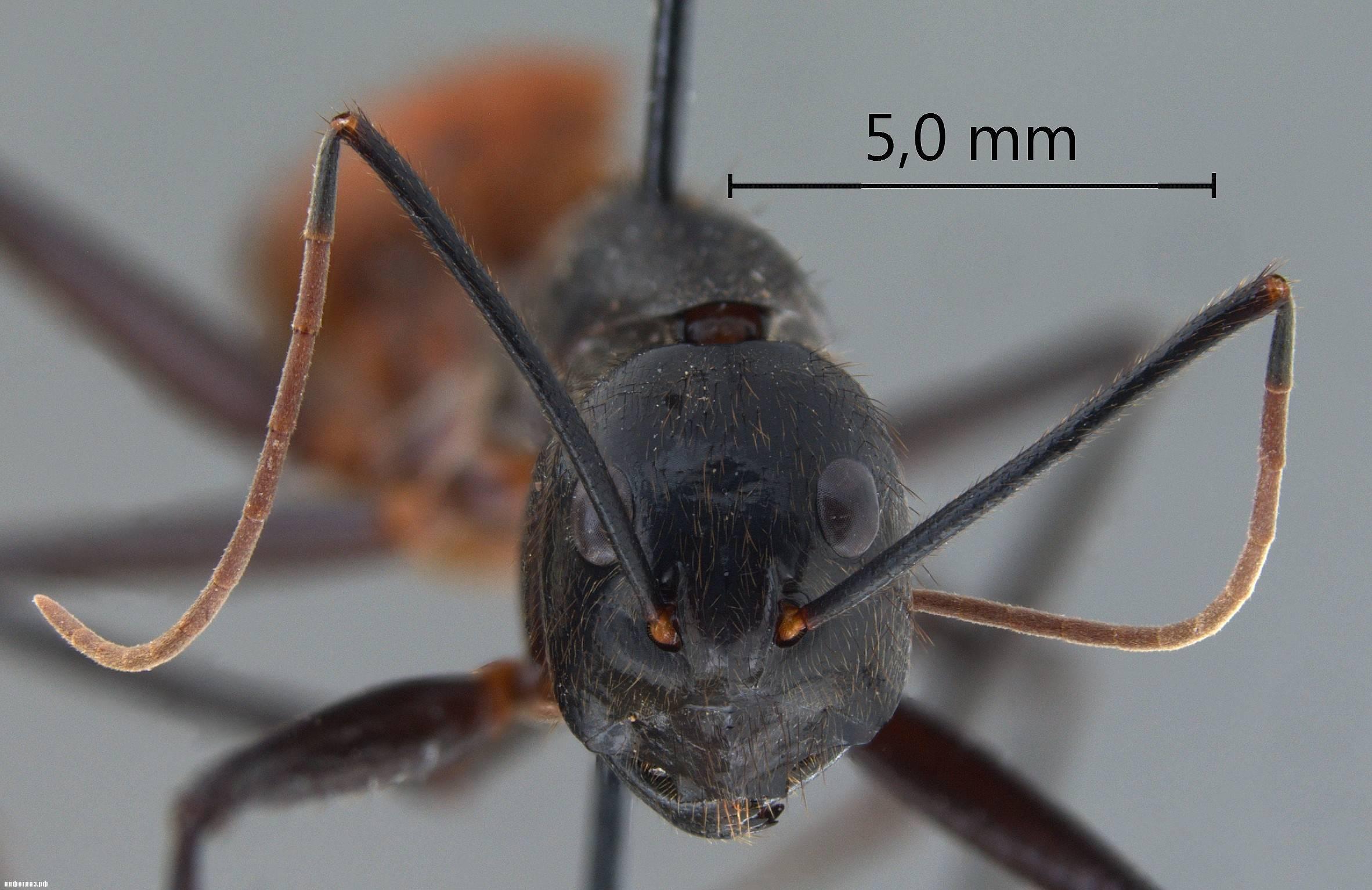 Самые большие муравьи в мире. фото, размеры, название, где обитают, видео