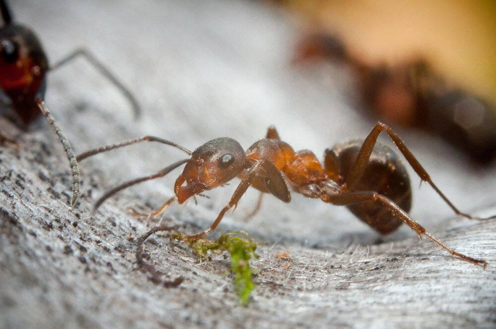 Как зимуют муравьи в муравейнике и спят ли они?