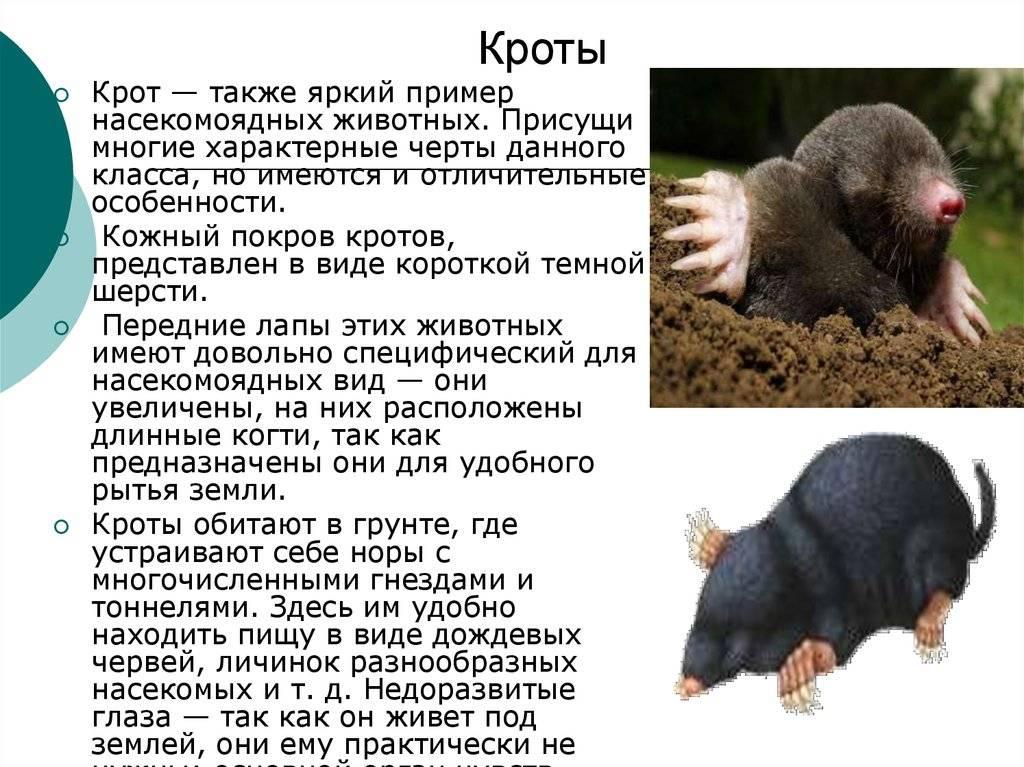 Крот - внешние особенности, местообитание, питание, размножение
