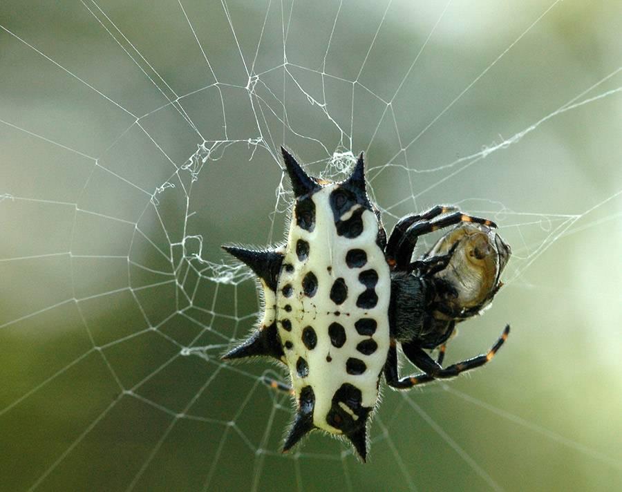 Рогатый паук, или шипастый паук-кругопряд | мир животных и растений