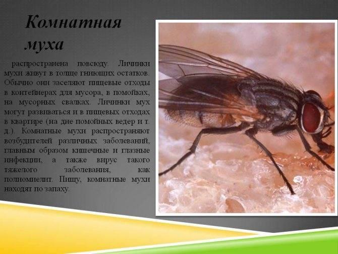 Как убить муху в домашних условиях, чем правильно и быстро уничтожить