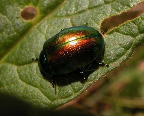 Бабануха – капустный или хреновый листоед. какие бывают болезни листьев хрена и как от них избавиться