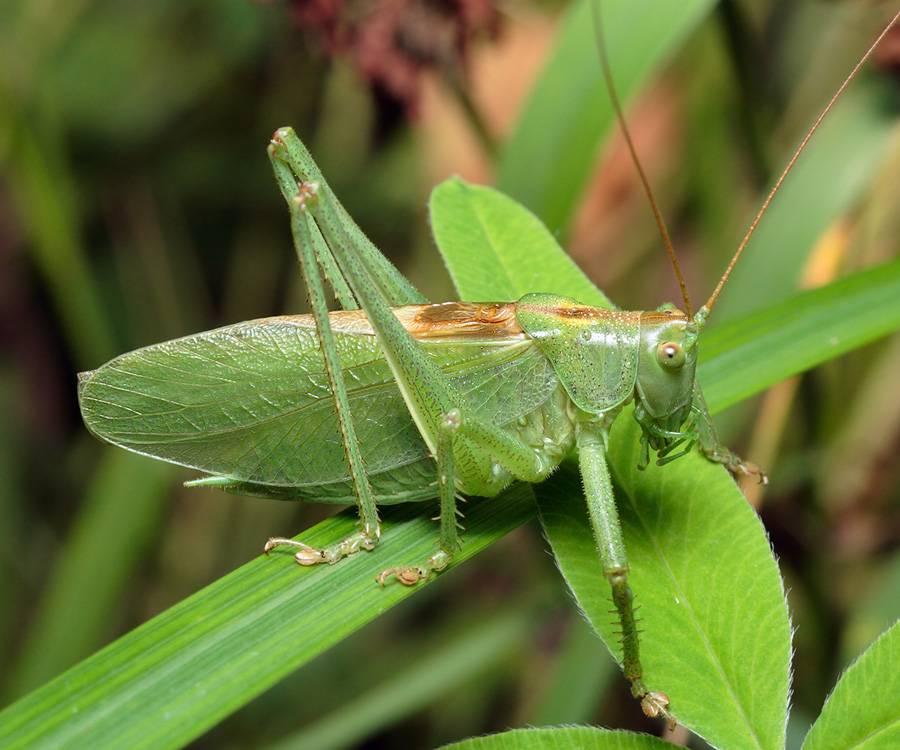 Как выглядит сверчок — фото и описание видов насекомого. сверчок полевой полевой сверчок