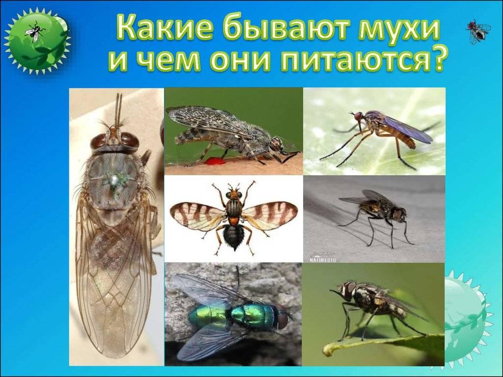 Муха — как выглядит, места обитания, основные подвиды, стадии рзможения + 82 фото