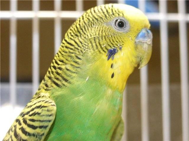Чесоточный клещ у волнистого попугая: опасность для человека, как выглядит паразит, как вылечить птицу