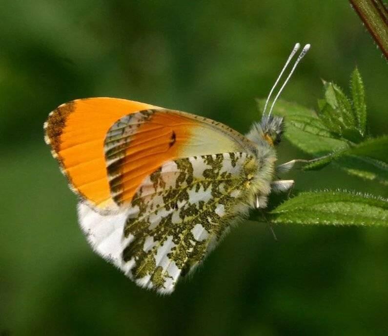 Бабочка бархатница (фото): дриада, воловий глаз, глазок цветочный, краеглазка ахина