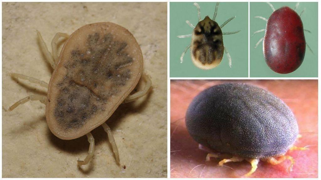 Аргасовые клещи: внешний вид и разновидности вредителя