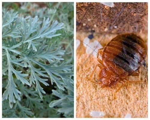 Как отпугнуть клопов при помощи различных запахов: какие ароматы не выносят насекомые?