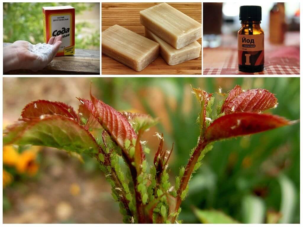 Сода от тли на смородине - народное средство от насекомых