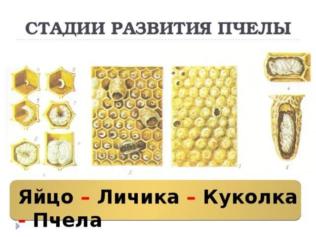Развитие пчелы по дням: стадии развития ' пчелы '