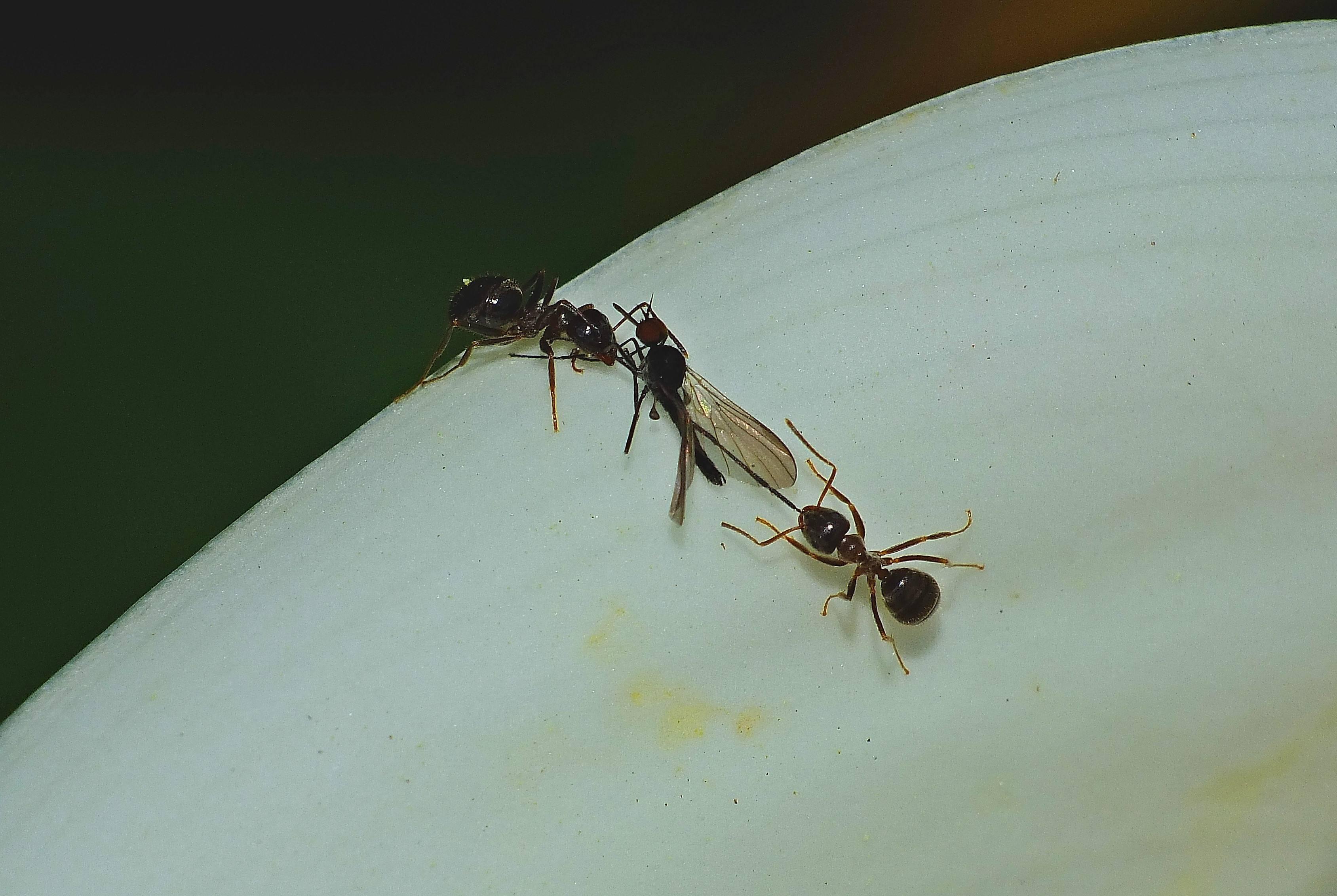 Летающие муравьи - зачем летают и откуда крылья