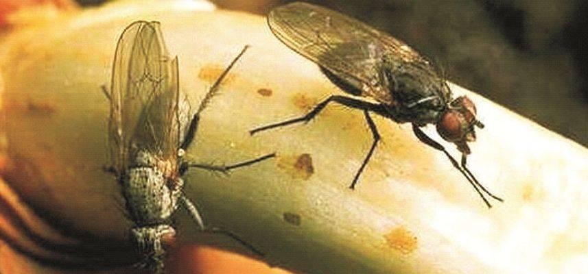 Как вывести вишневую муху: инсектициды и народные методы