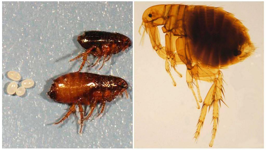 Крысиные блохи - появление, вред и способы уничтожения. / как избавится от насекомых в квартире