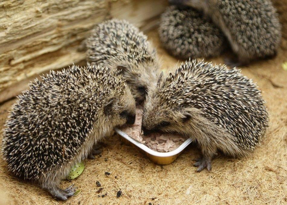 Что едят ежики? чем питаются ежики в природе?