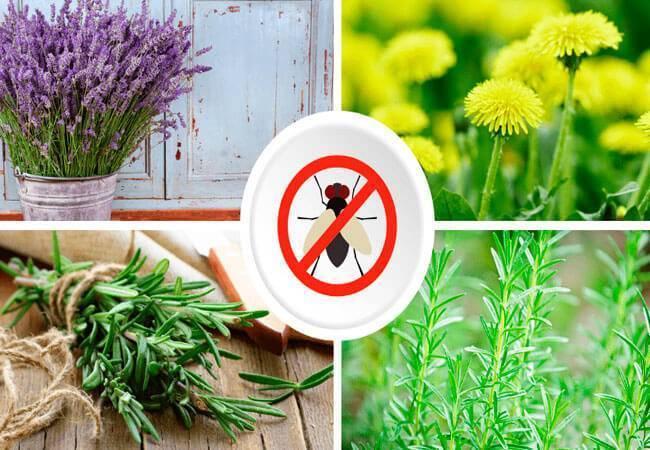 Растения, отпугивающие комаров – дачные дела
