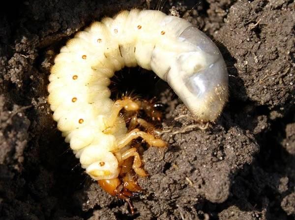 Как бороться с личинками майского жука